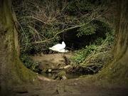 21st Mar 2020 - Swans