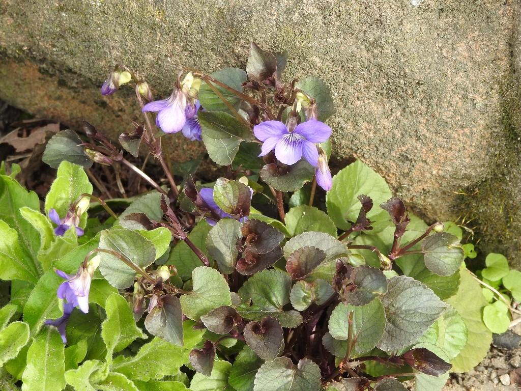 Violets by oldjosh