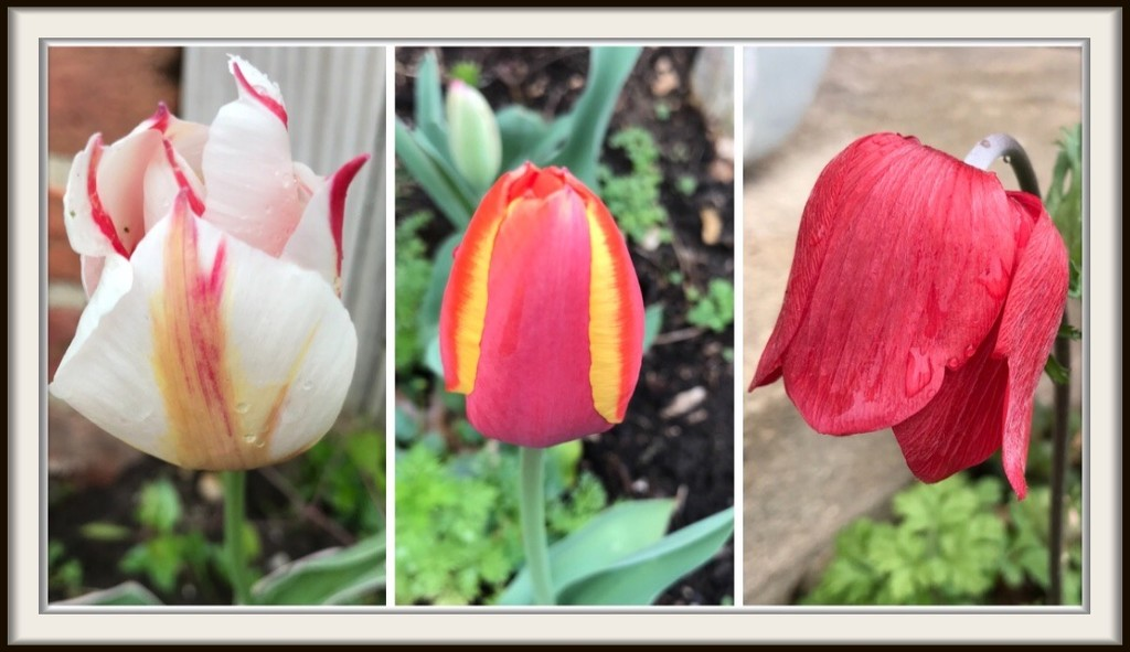The Beginning of Tulip Season by allie912