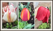 24th Mar 2020 - The Beginning of Tulip Season