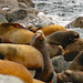 Sea lion herds