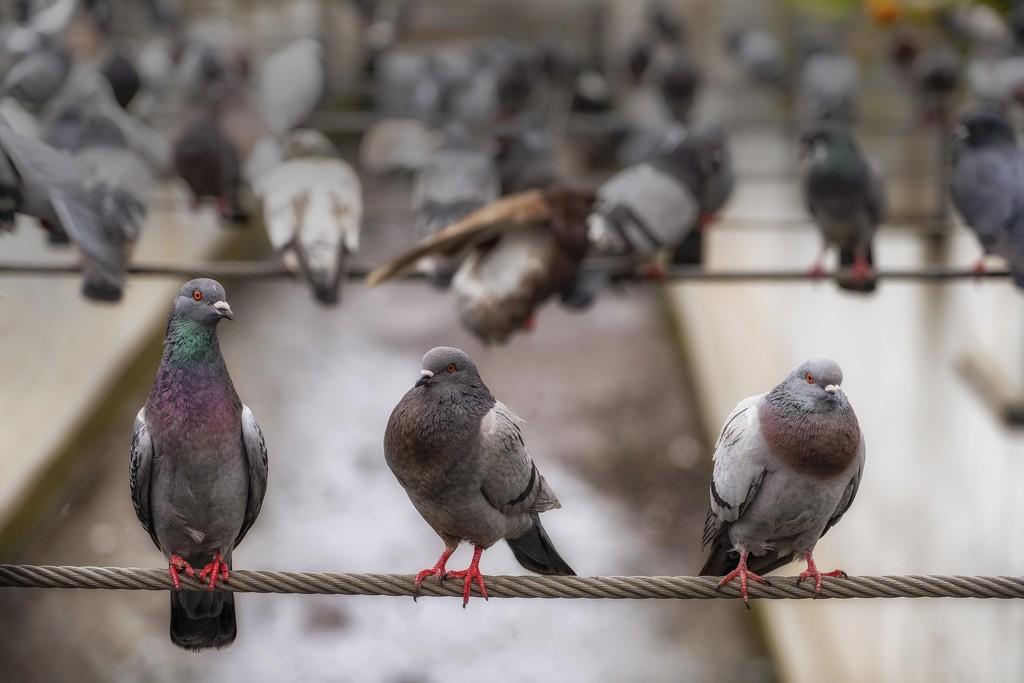 Six Pigeon Feet Apart. by gamelee