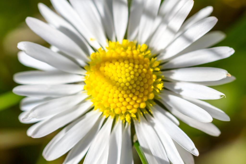 Daisy by humphreyhippo