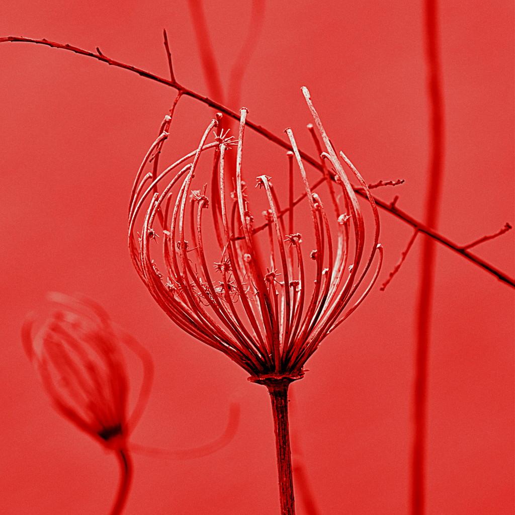 Red 3 by genealogygenie