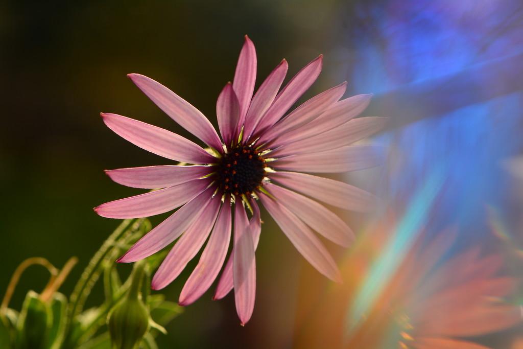 Jazzy daisy.......... by ziggy77