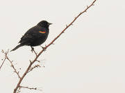 24th Mar 2020 - Red-winged blackbird on a branch