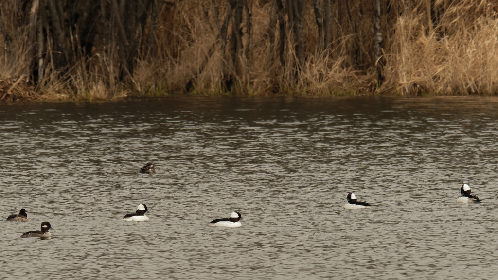 buffleheads  by rminer