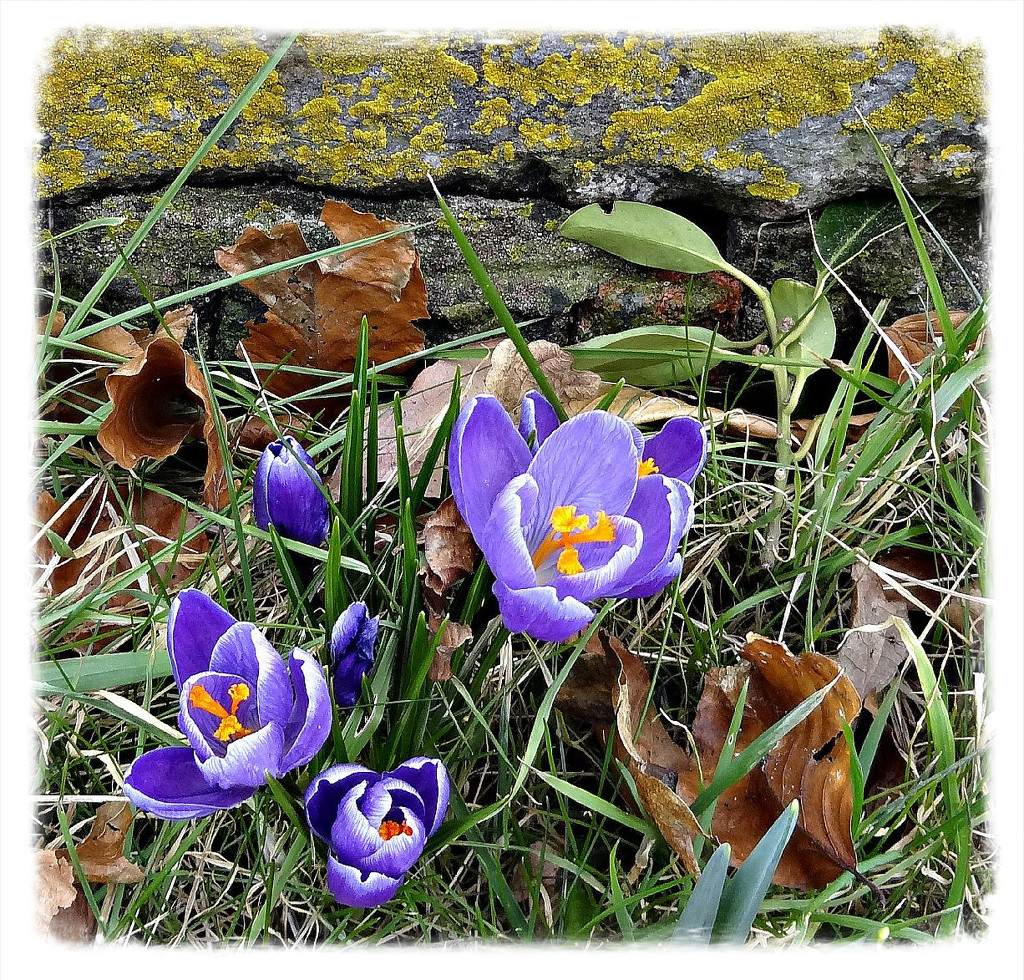 purple crocuses by gijsje