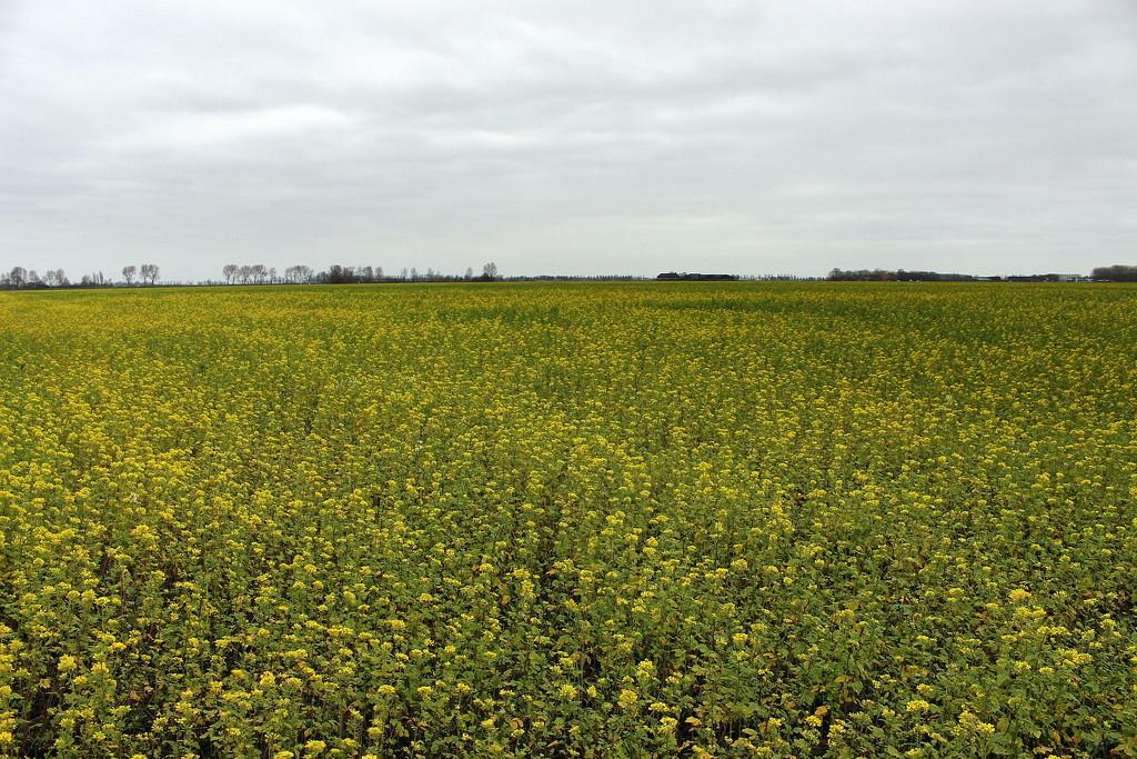 Mustard , manure crop.  by pyrrhula