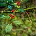 Holly Berries in Spring