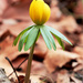 Winter Aconite 5