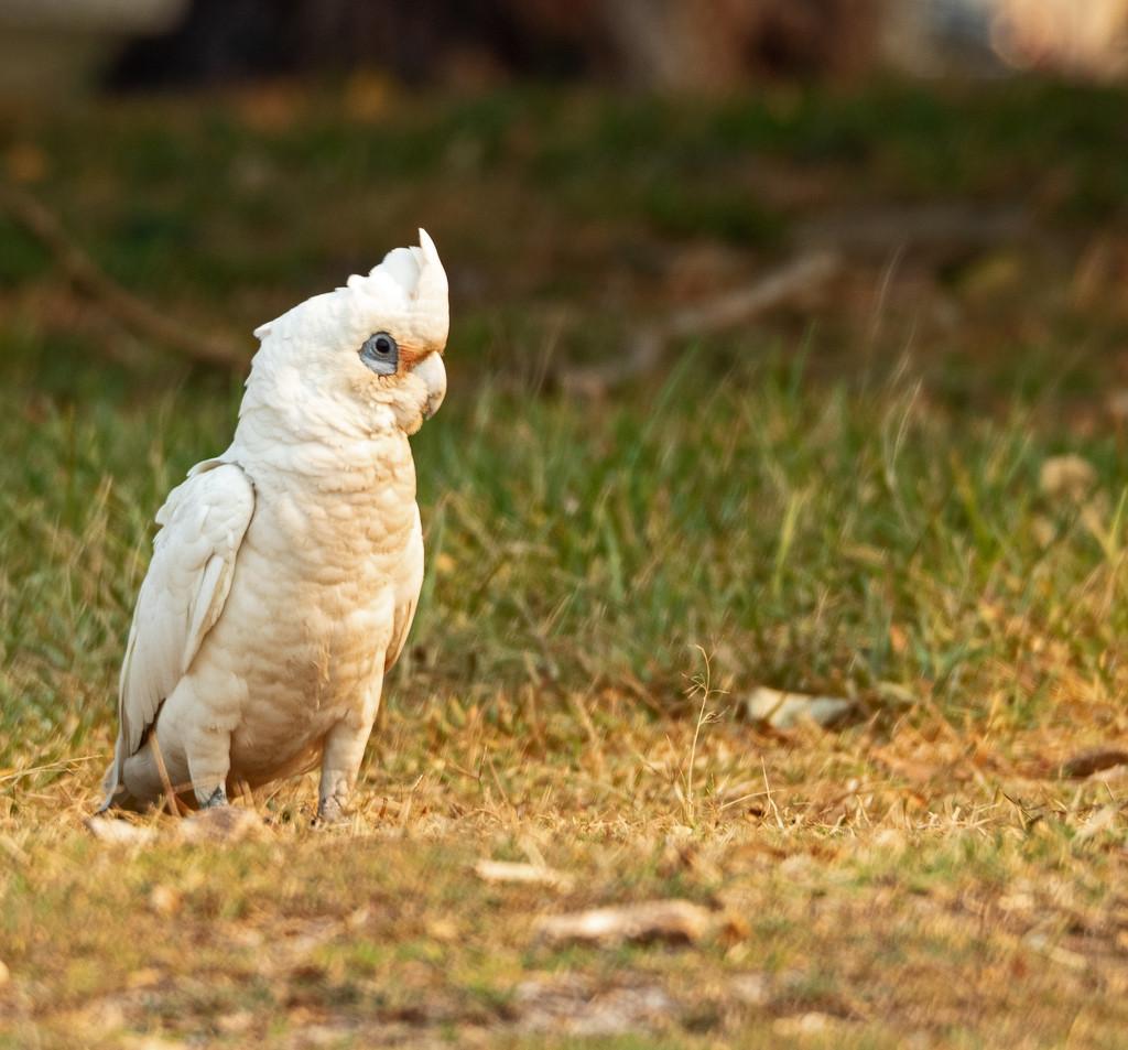 White Cockatoo by ianjb21