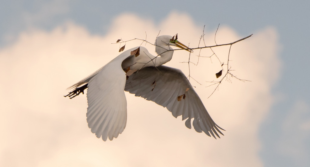 One More Egret Fly-over! by rickster549