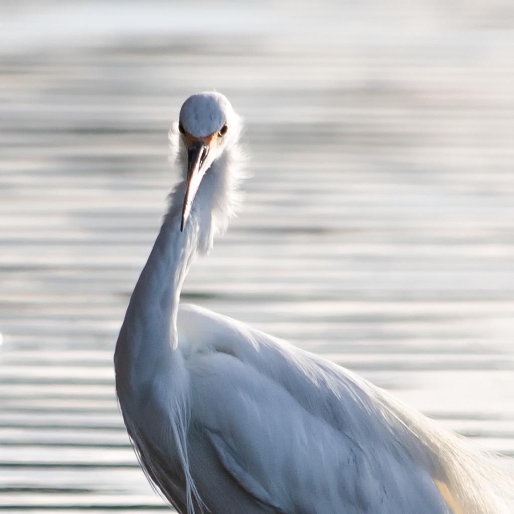Great Egret  by glendamg