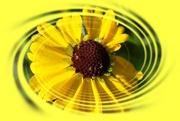 25th Mar 2020 - luminous in yellow
