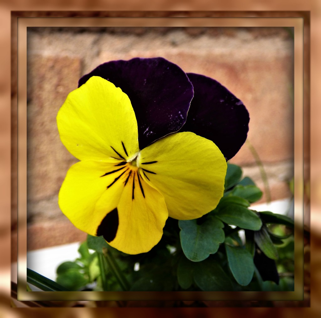 Yellow Pansy  by beryl