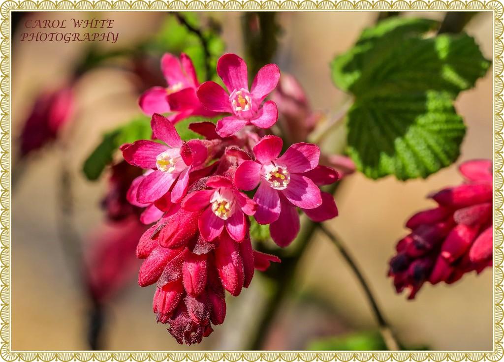 Ribes by carolmw