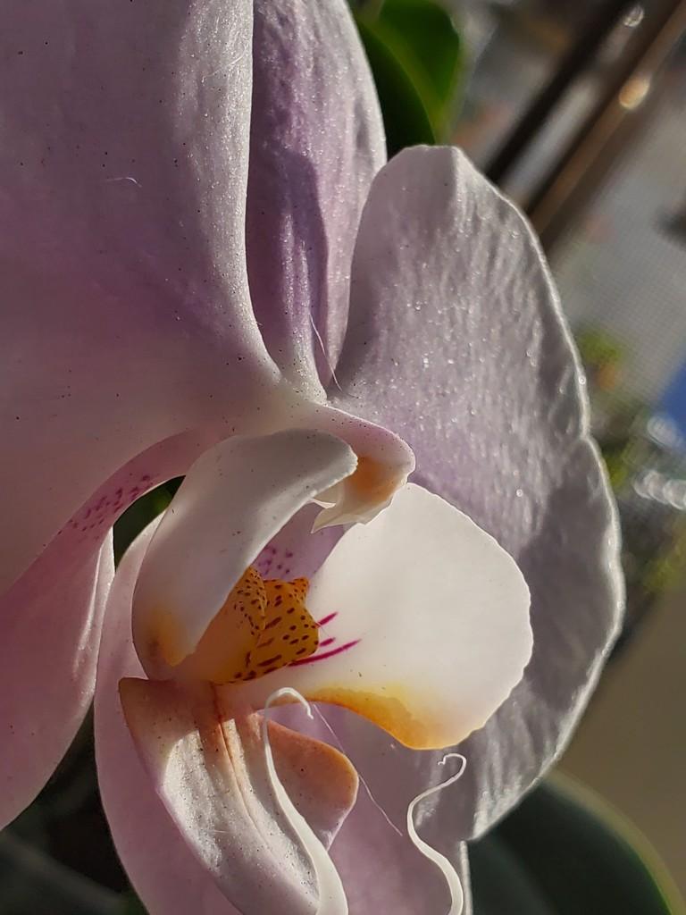 Orchid by arayofsrqsun