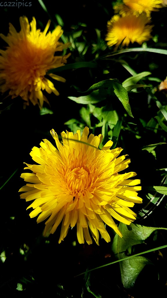 Dandelion  by serendypyty