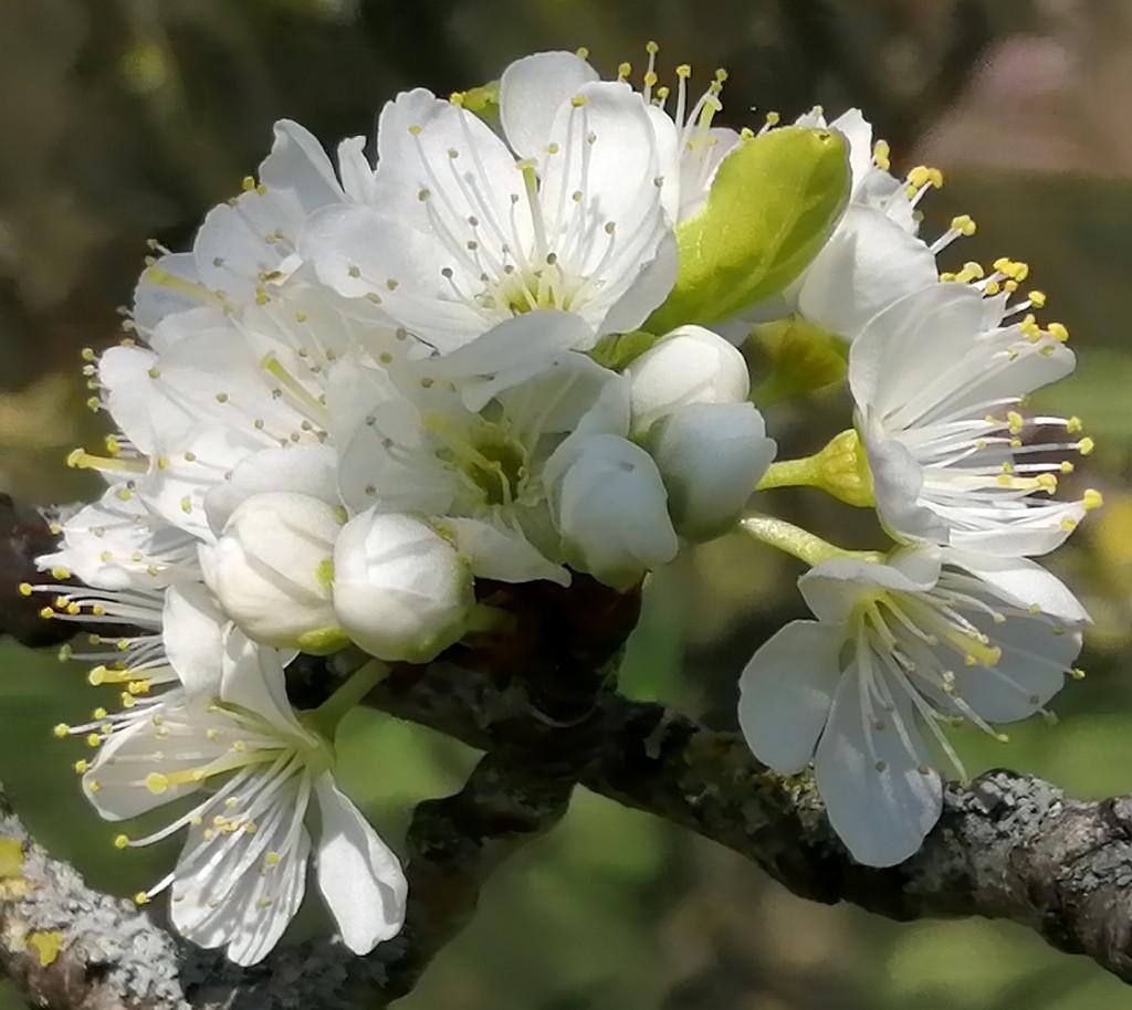 Blaisdon plum blossom...  by flowerfairyann
