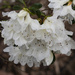 White Azalea by k9photo