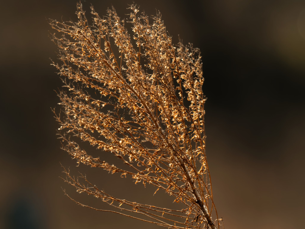 Chinese Silver Grass by rminer