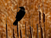25th Mar 2020 - Red-winged blackbird and cattails