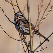 25th Mar 2020 - song sparrow