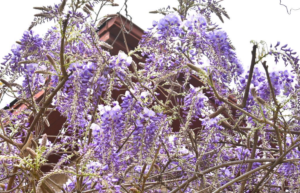 Wisteria Roof by homeschoolmom