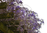 25th Mar 2020 - Hanging Wisteria