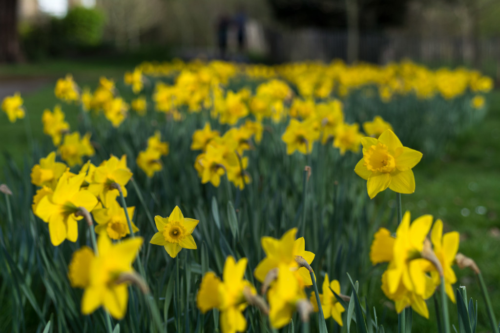 A host, of golden daffodils by rumpelstiltskin