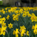 A host, of golden daffodils