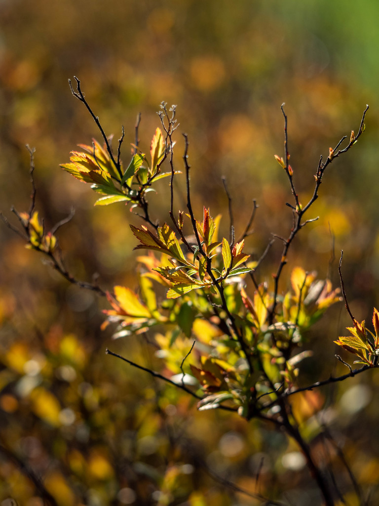 young leaves in the sun by haskar