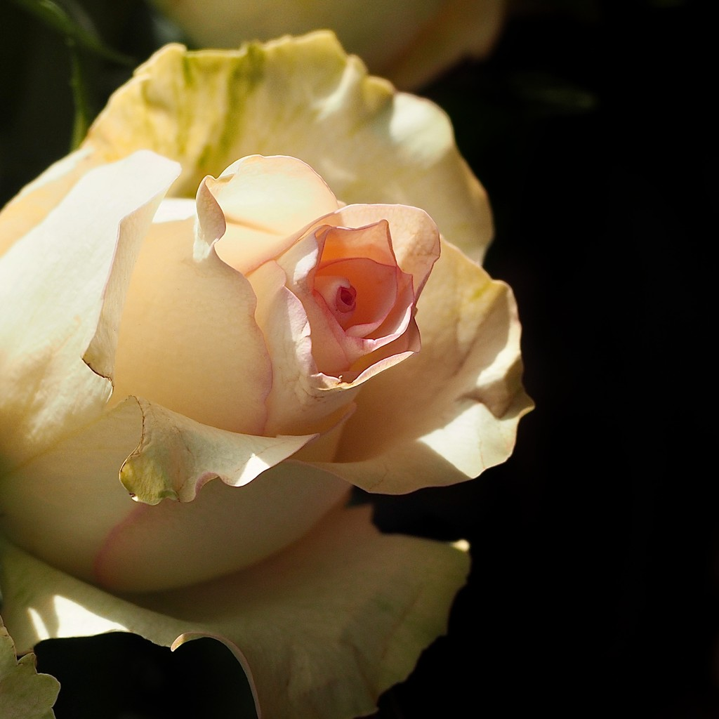Rose by jacqbb