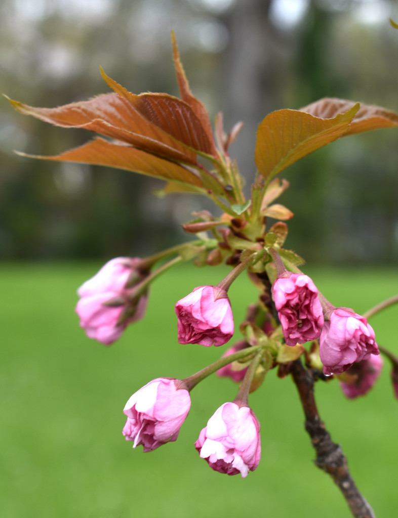 Spring Blossoms by homeschoolmom