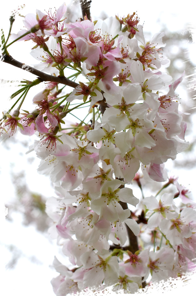Blooms on White by homeschoolmom