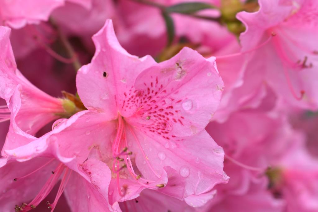 PINK Azaleas and Raindrops by homeschoolmom