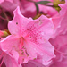 PINK Azaleas and Raindrops