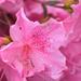 PINK Azaleas and Raindrops