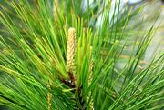 2nd Mar 2020 - New Pine