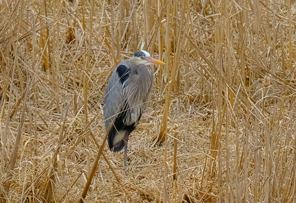 Return of the Heron by tosee