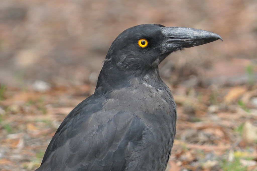 Black Currawong by hrs