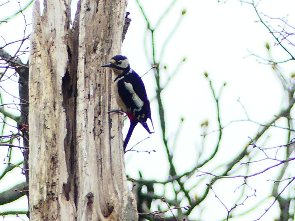 Greater Spotted Woodpecker by snoopybooboo