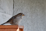 24th Mar 2020 - One of Our Many Sparrows