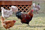 25th Mar 2020 - Neighbor's Rooster and His Harem of Hens