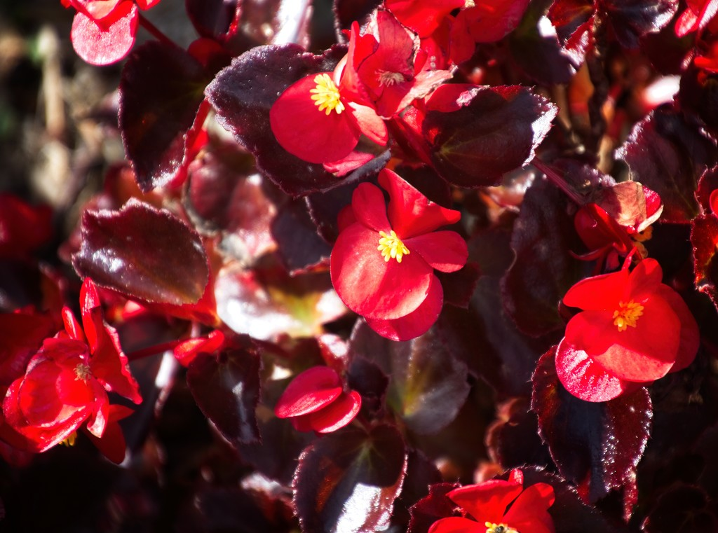 Red begonia by kiwinanna