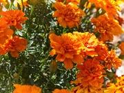 24th Mar 2020 - Clusters of Orange