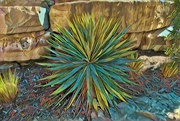26th Mar 2020 - The drought tolerant, sun-loving Yucca