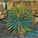 The drought tolerant, sun-loving Yucca
