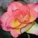 Roses For Mum .